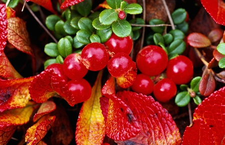 Red autumn berries photo