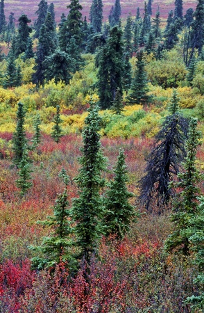backwoods: Boreal Forest in autumn color