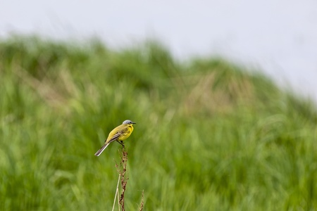 motacillidae: Yellow Wagtail sitting on a stick and singing Stock Photo