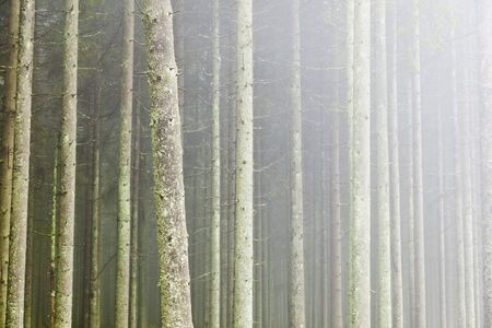 treetrunk: Spruce tree in the forest with morning mist