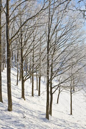 Winter forest with snow and hoarfrost on the tree photo