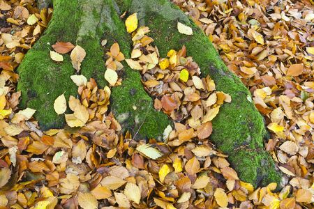 Moss covered tree roots amongst the autumn leaves photo