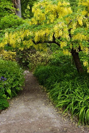 Laburnum tree in full bloom