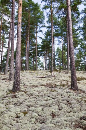 Reindeer moss in pine forest photo