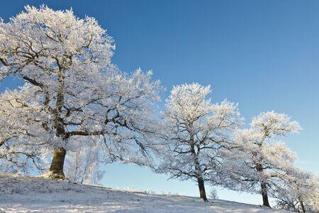 Oak trees on the hill in winter landscape photo
