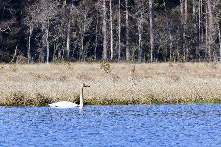 swimming bird: Whooper swan swimming in Lake Forest