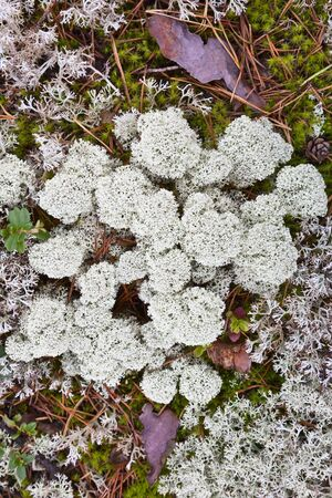Reindeer moss is growing on the ground photo