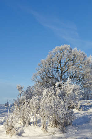 Shrubs and trees with frost photo