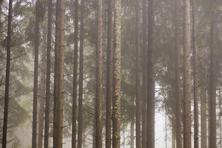 아침 안개와 숲의 가문비 나무