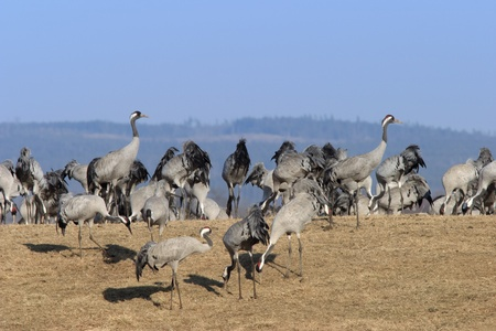 Crane meeting at spring. Stock Photo - 11376552