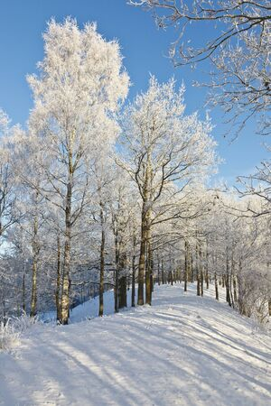 Deciduous tree on a hill with frost and snow in winter woods photo