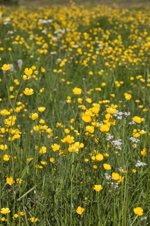 Summer meadow with blooming Meadow Buttercup Stock Photo - 11376595