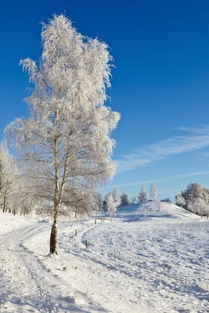 Birch with frost in winter field Stock Photo - 11376565