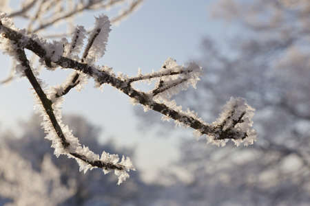 Branch with frost and backlight photo