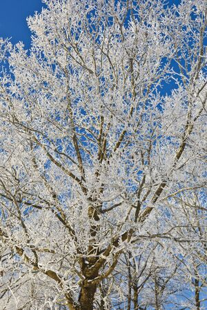 Deciduous trees, with frost on branches photo