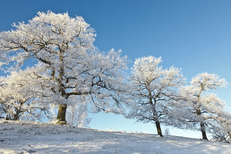 Oak trees on the hill in snowy landscape