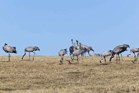 Common Cranes grazing on field photo