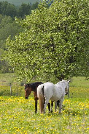 pastureland: Two horses in a summer meadow Stock Photo