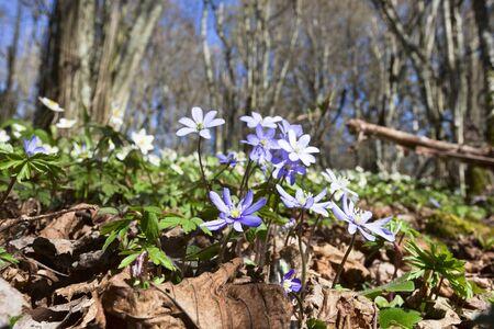 hepatica nobilis: Anemone hepatica in spring forest