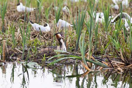 birdnest: Great Crested Grebe nests in the lake