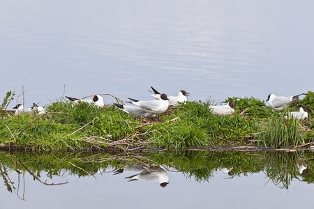 Black-headed Gull is nesting on a small island Stock Photo - 11965820