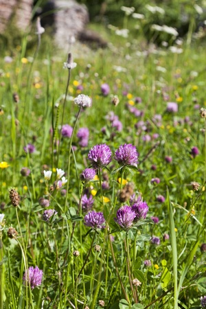 Summer meadow with blooming Red Clover Stock Photo - 11965813