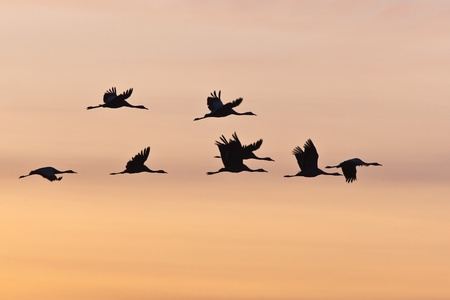Flock of cranes in colourful sky photo