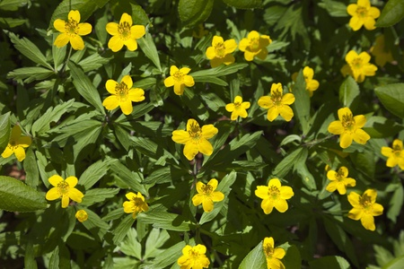 yellow wood anemone in forest meadow photo