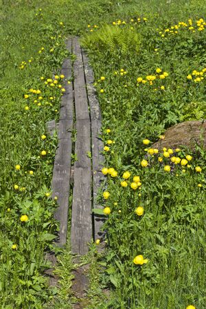 Footpath with Globeflowers in the meadow photo