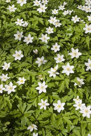 anemone flower: Blooming Windflower in the spring