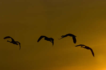 whooper swan flying in beautiful dawn light photo