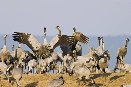 Common Crane dance at sring photo