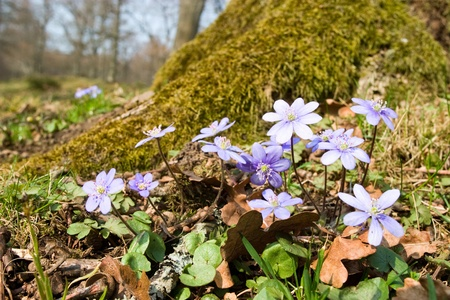 hepatica: Kidneywort, liverwort or pennywort.(Anemone hepatica)