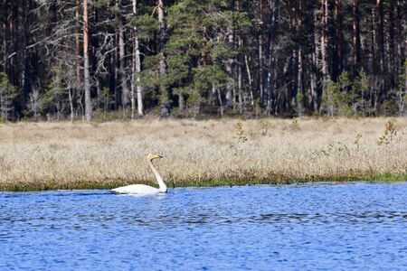 Whooper swan swimming in Lake Forest Stock Photo - 12930442