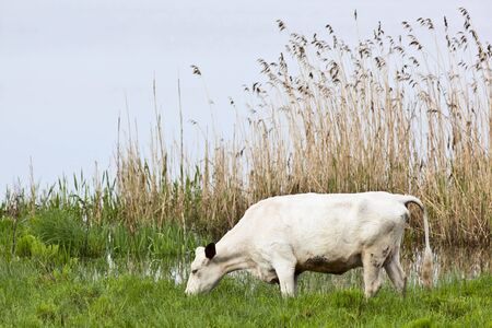 Cows graze on a meadow at the lake photo