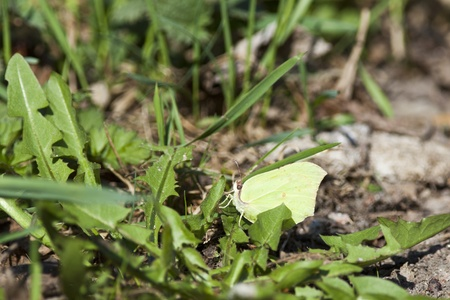Common brimstone in the garden photo