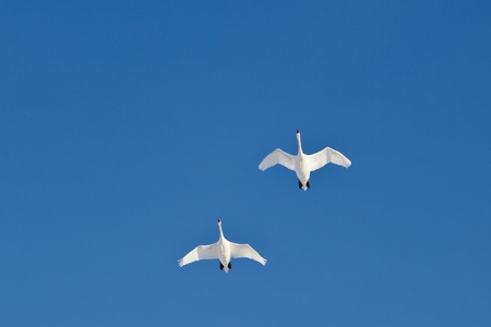 Mute swans in flight against blue sky photo