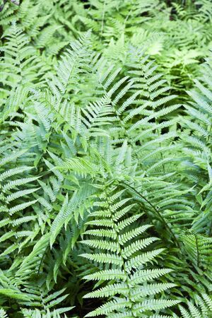 primeval forest: Wild primeval forest with ferns