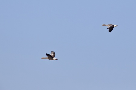 Greylag Goose in the blue sky photo