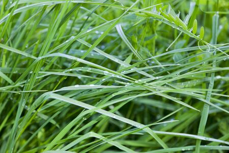 Grass with morning dew drops Stock Photo - 13172152