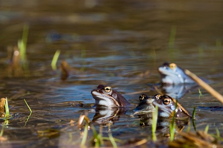 rana arvalis: Moor frog in spring (Rana arvalis) Stock Photo