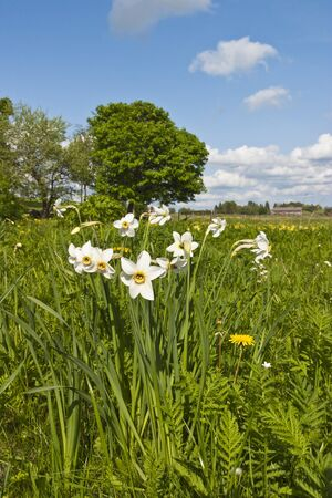 Daffodils blooms in the meadow Stock Photo - 13408200