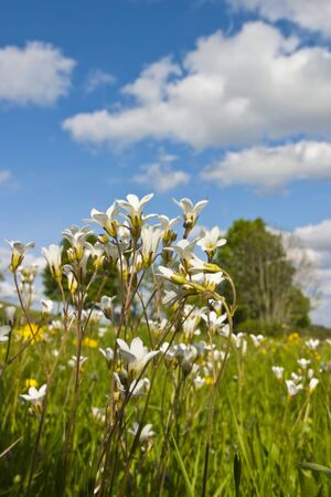 Meadow Saxifrage blooms in the meadow, Saxifraga granulata Stock Photo - 13407702