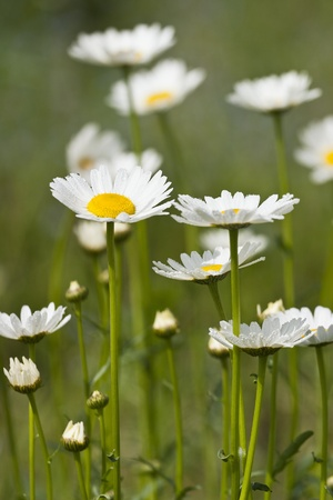 Meadow with flowering oxeye daisies Stock Photo