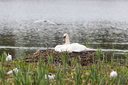 Mute Swan nests in the lake Stock Photo - 13409118