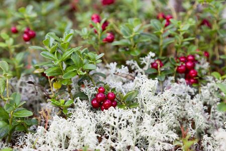 Lingonberry and Reindeer moss Stock Photo - 13409225