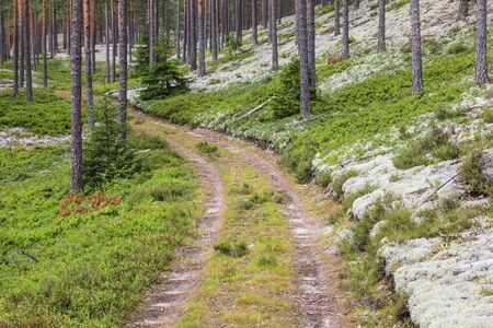 Forest road in the pine forest photo