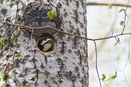 Great Spotted Woodpecker looking out of nest hole photo