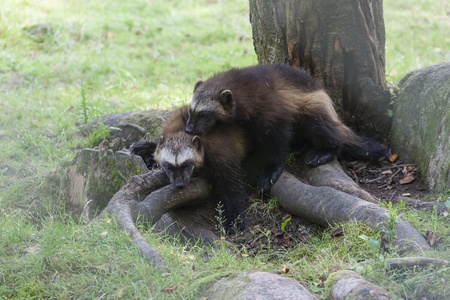 Wolverines playing with each other in a zoo Imagens
