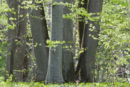 beech tree: Beech tree forest in spring
